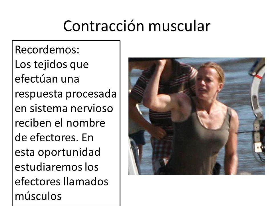 Contracción muscular Algunas características generales de los músculos: Los músculos constituyen de un 40% a un 50% del total de la masa corporal Funciones: a)Generación de movimientos (voluntarios e involuntarios) b) Mantención de la postura corporal c)Producción de calor Los músculos convierten la energía química (ATP) en energía mecánica (movimiento, bombeo del corazón, contracción peristáltica, saltar, correr, etc.