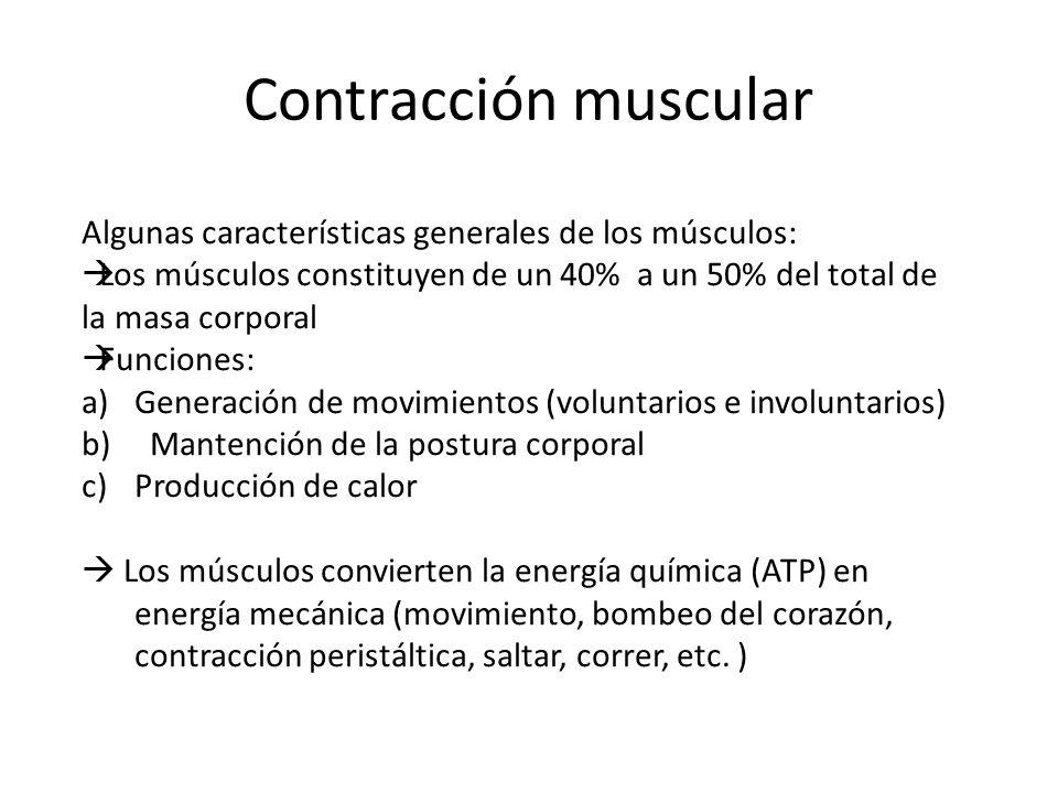 Contracción muscular Algunas características generales de los músculos: Los músculos constituyen de un 40% a un 50% del total de la masa corporal Func