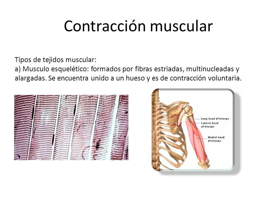 Contracción muscular Tipos de tejidos muscular: b) Musculo liso: formado por fibras musculares lisas, alargadas, fusiforme y un núcleo Conforman la pared de varios tejidos y órganos y es de contracción involuntaria.