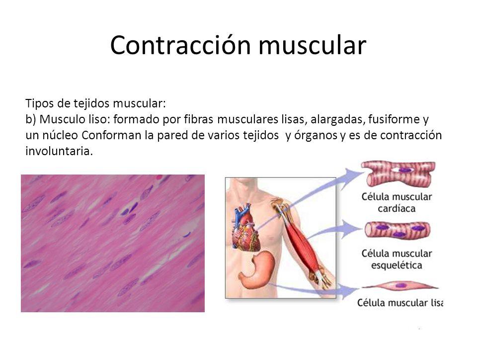 Contracción muscular Tipos de tejidos muscular: b) Musculo liso: formado por fibras musculares lisas, alargadas, fusiforme y un núcleo Conforman la pa
