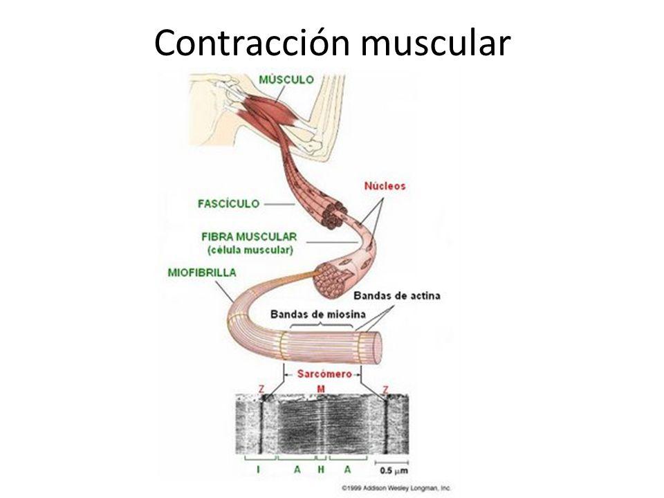 Miofibrilla gruesa Esta formada por 300 moléculas de miosinas, que se ubican como palos de golf enrollados La miosina tiene sitios de unión al ATP y las actinas Membrana plasmática La membrana plasmática del musculo esquelético se llama sarcolema Presenta extensiones hacia el interior de la fibra, formando unos túbulos llamados túbulos T (túbulos transverso) Sarcómeros Es la división de la miofibrilla, los que constituyen la unidad contráctil del musculo Cada sarcomero esta delimitado por dos bandas oscuras llamadas bandas Z, y entre ellas se ubican bandas claras formadas por actina, llamada bandas I.