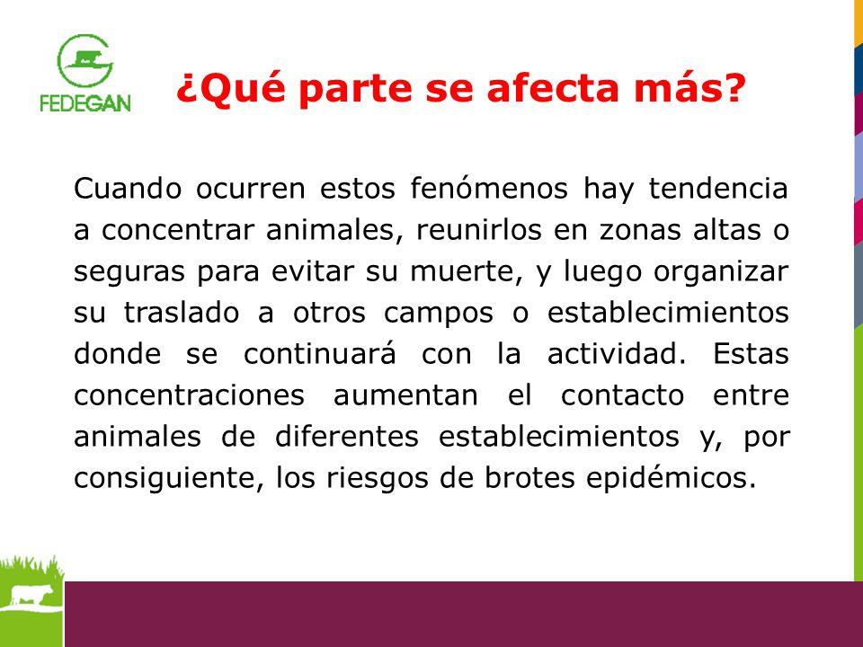 Cuando ocurren estos fenómenos hay tendencia a concentrar animales, reunirlos en zonas altas o seguras para evitar su muerte, y luego organizar su tra