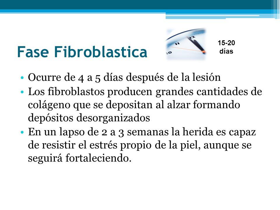 Fase Fibroblastica Ocurre de 4 a 5 días después de la lesión Los fibroblastos producen grandes cantidades de colágeno que se depositan al alzar forman