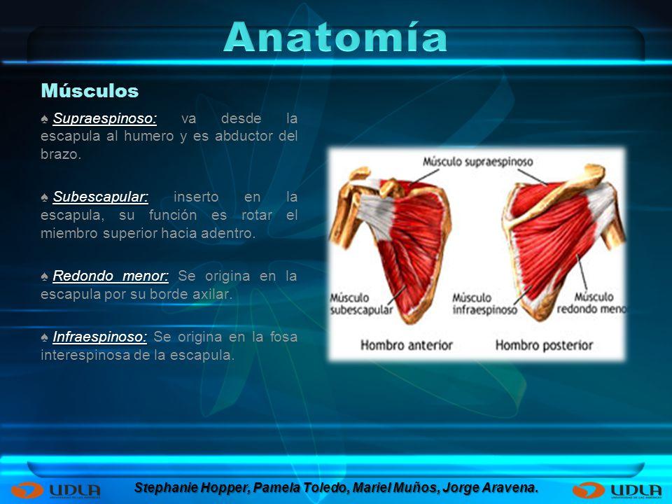 Músculos Supraespinoso: Supraespinoso: va desde la escapula al humero y es abductor del brazo. Subescapular: Subescapular: inserto en la escapula, su