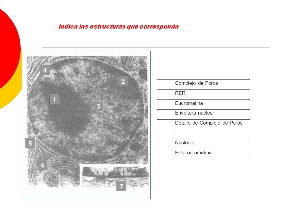 Complejo de Poros RER Eucromatina Envoltura nuclear Detalle de Complejo de Poros Nucléolo Heterocromatina Indica las estructuras que corresponda