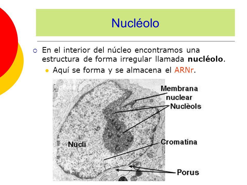 En el interior del núcleo encontramos una estructura de forma irregular llamada nucléolo. Aquí se forma y se almacena el ARNr. Nucléolo