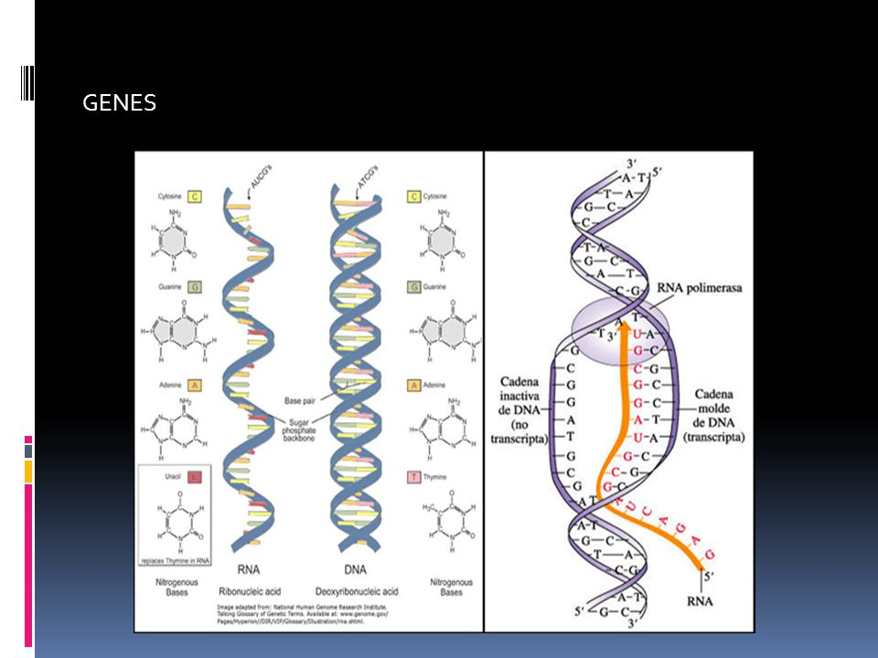 Las tiras o escalones de la escalera están las bases nitrogenadas.