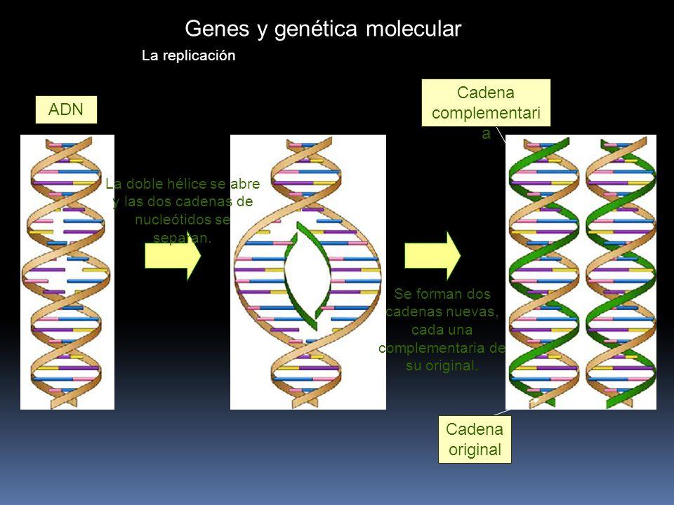 Genes y genética molecular La replicación ADN La doble hélice se abre y las dos cadenas de nucleótidos se separan.