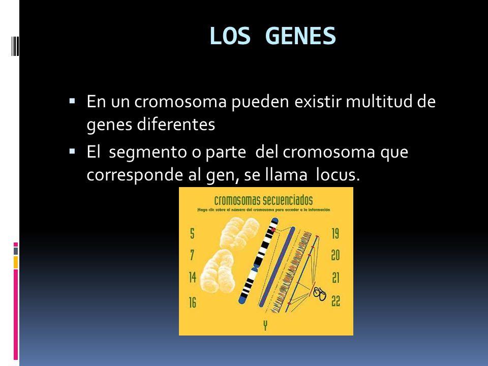 LOS GENES En un cromosoma pueden existir multitud de genes diferentes El segmento o parte del cromosoma que corresponde al gen, se llama locus.