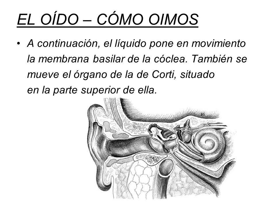 EL OÍDO – CÓMO OIMOS A continuación, el líquido pone en movimiento la membrana basilar de la cóclea. También se mueve el órgano de la de Corti, situad