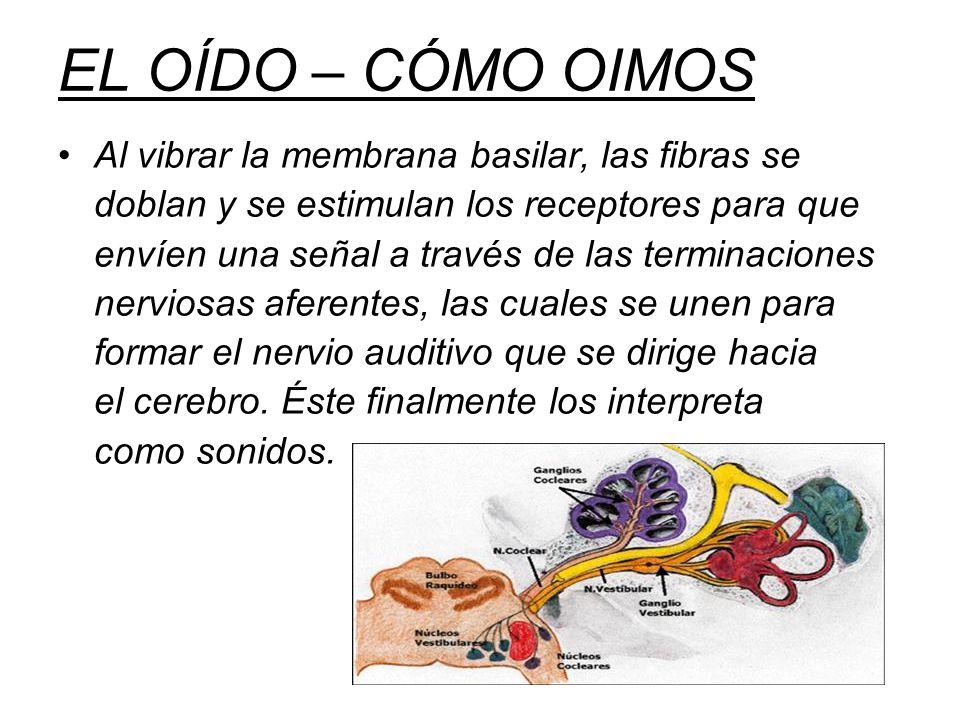 EL OÍDO – CÓMO OIMOS Al vibrar la membrana basilar, las fibras se doblan y se estimulan los receptores para que envíen una señal a través de las terminaciones nerviosas aferentes, las cuales se unen para formar el nervio auditivo que se dirige hacia el cerebro.