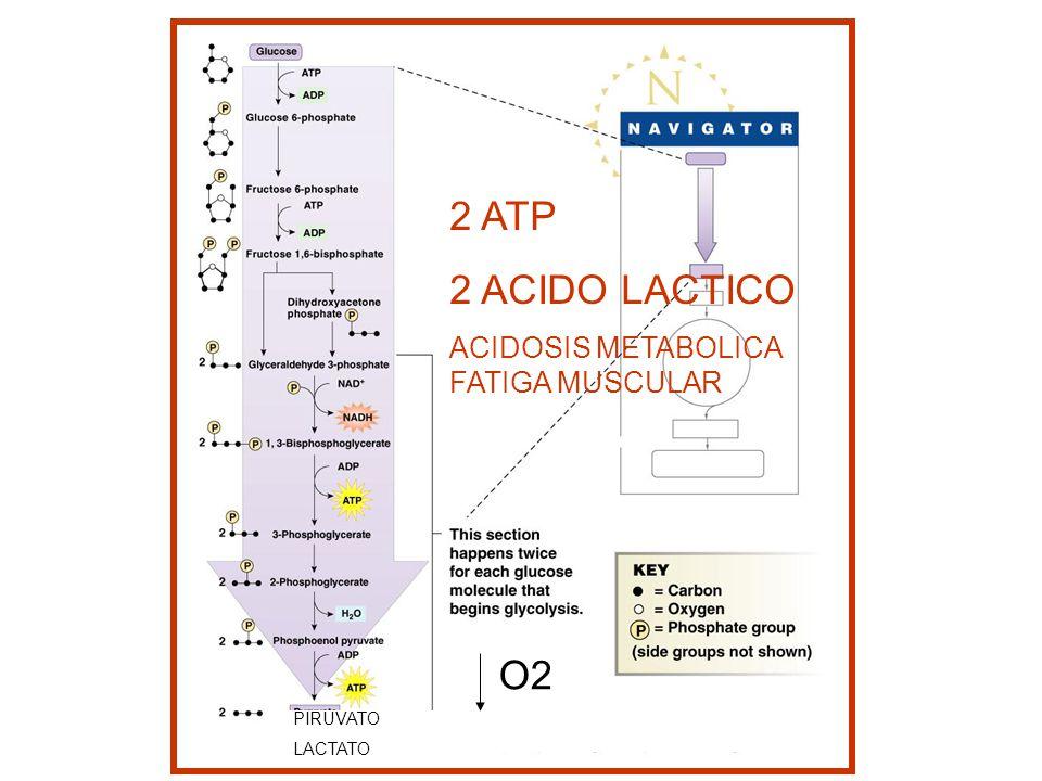 2 ATP 2 ACIDO LACTICO ACIDOSIS METABOLICA FATIGA MUSCULAR PIRUVATO LACTATO O2