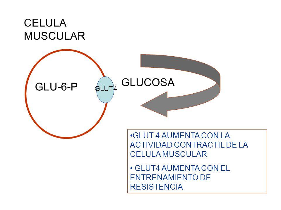 GLUCOSA GLUT4 GLUT 4 AUMENTA CON LA ACTIVIDAD CONTRACTIL DE LA CELULA MUSCULAR GLUT4 AUMENTA CON EL ENTRENAMIENTO DE RESISTENCIA GLU-6-P CELULA MUSCUL