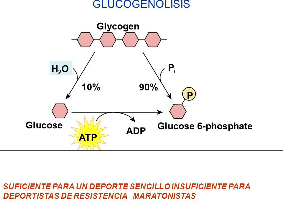 ATP The direct conversion of glycogen to glucose 6-phosphate saves the cell one ATP per glucose. H2OH2O PiPi ADP 10%90% Glycogen Glucose 6-phosphate G