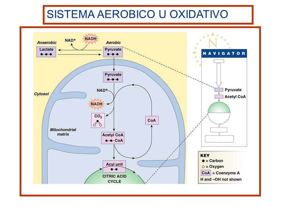 SISTEMA AEROBICO U OXIDATIVO