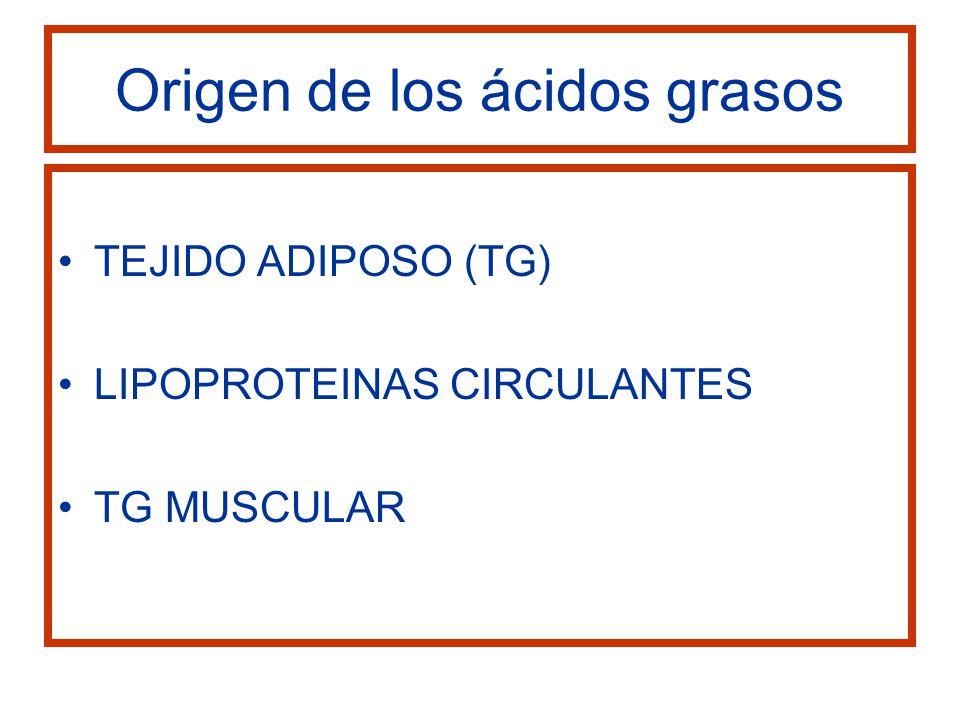 Origen de los ácidos grasos TEJIDO ADIPOSO (TG) LIPOPROTEINAS CIRCULANTES TG MUSCULAR