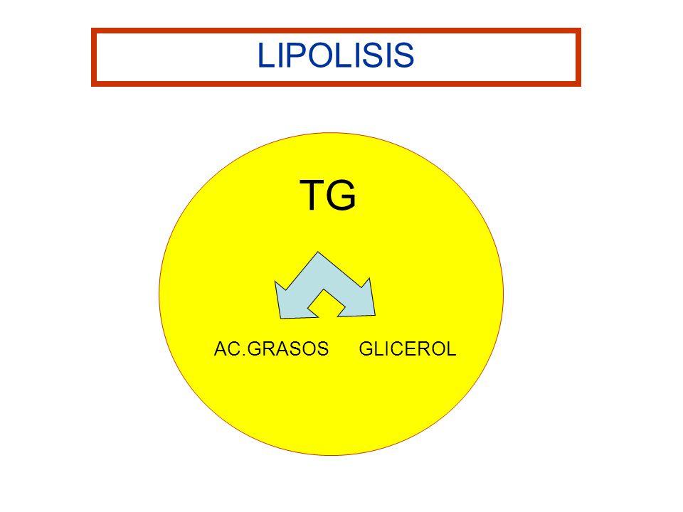 TG AC.GRASOS GLICEROL LIPOLISIS