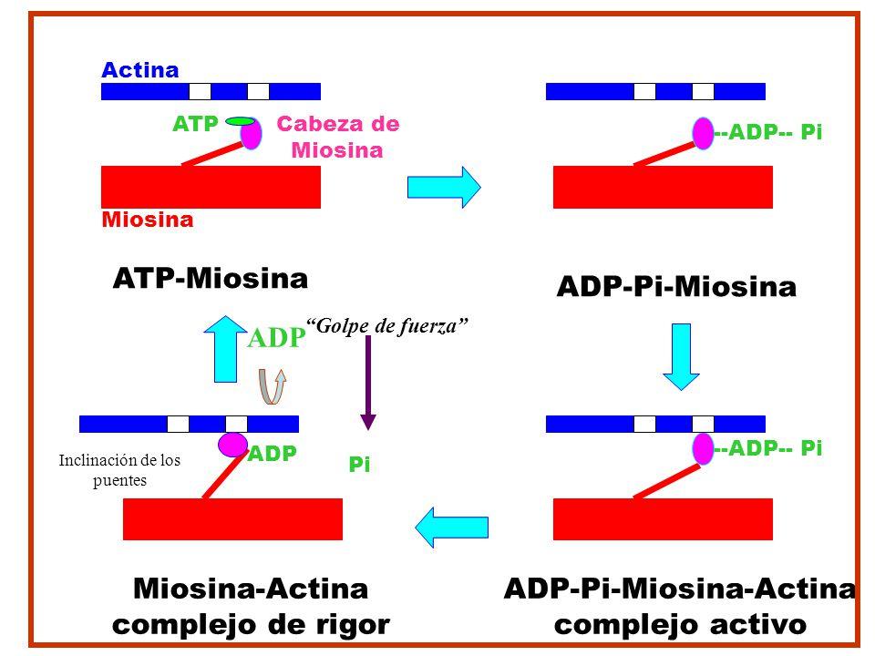 Actina Cabeza de Miosina ATP-Miosina ATP ADP-Pi-Miosina-Actina complejo activo --ADP-- Pi ADP-Pi-Miosina --ADP-- Pi Miosina-Actina complejo de rigor P