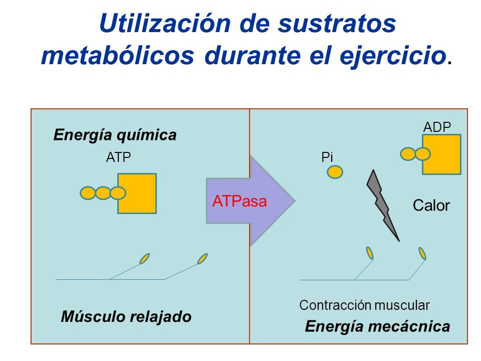 Utilización de sustratos metabólicos durante el ejercicio. Energía química ATP Músculo relajado Contracción muscular Energía mecácnica Pi ADP ATPasa C