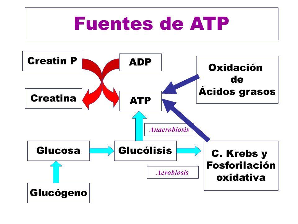 Fuentes de ATP ADP ATP Creatin P Creatina Glucólisis C. Krebs y Fosforilación oxidativa Glucosa Glucógeno Oxidación de Ácidos grasos Anaerobiosis Aero