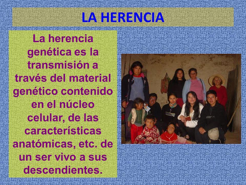 LA HERENCIA La herencia genética es la transmisión a través del material genético contenido en el núcleo celular, de las características anatómicas, etc.