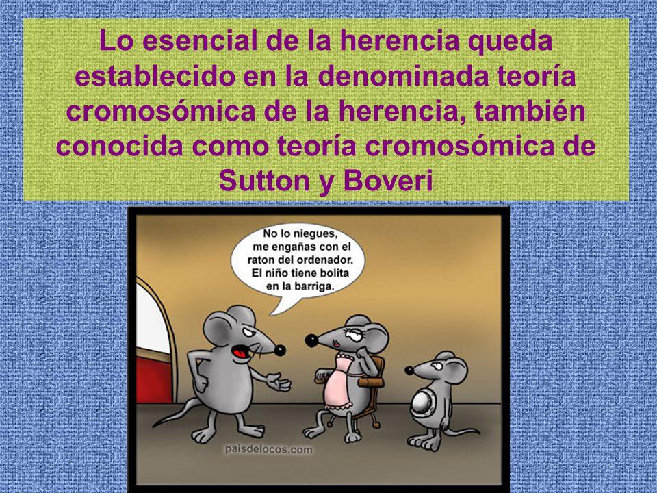 Lo esencial de la herencia queda establecido en la denominada teoría cromosómica de la herencia, también conocida como teoría cromosómica de Sutton y Boveri