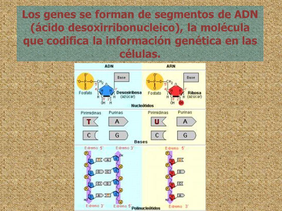Los genes se forman de segmentos de ADN (ácido desoxirribonucleico), la molécula que codifica la información genética en las células.