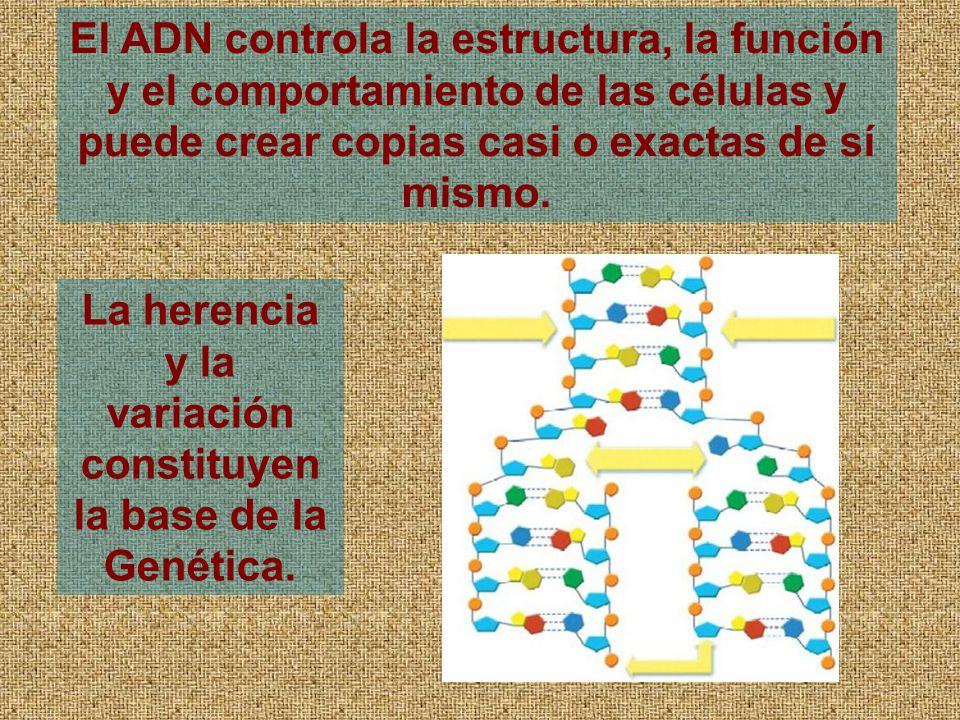 El ADN controla la estructura, la función y el comportamiento de las células y puede crear copias casi o exactas de sí mismo.