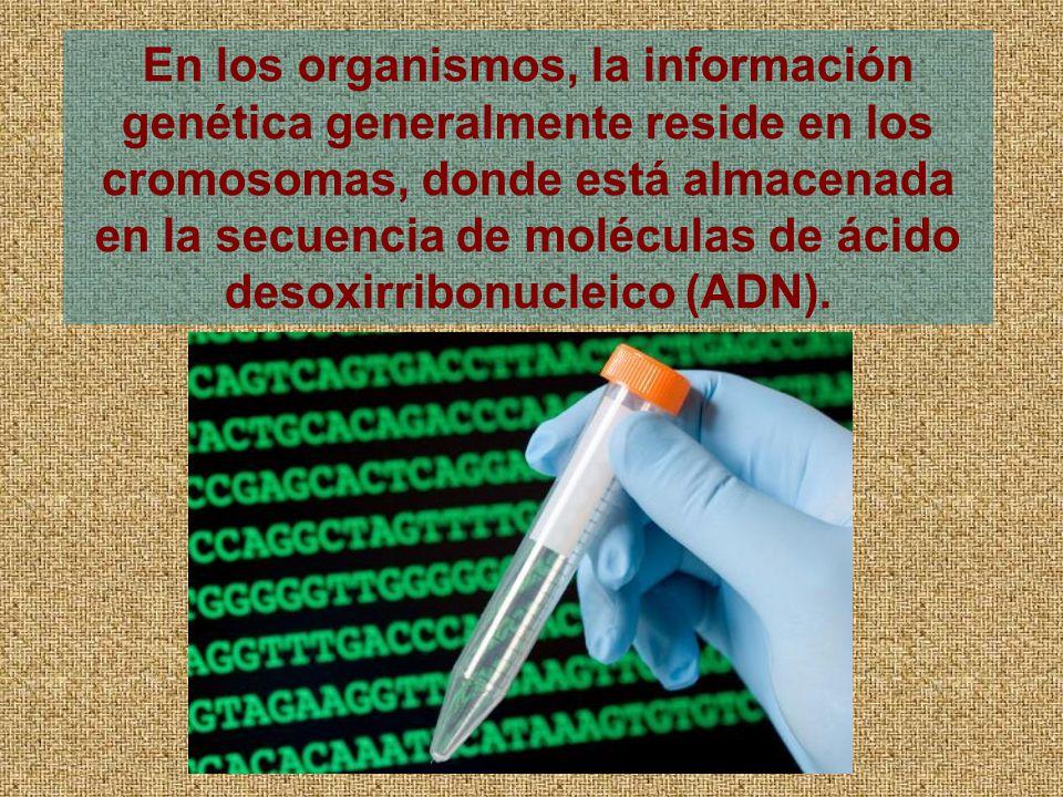 En los organismos, la información genética generalmente reside en los cromosomas, donde está almacenada en la secuencia de moléculas de ácido desoxirribonucleico (ADN).