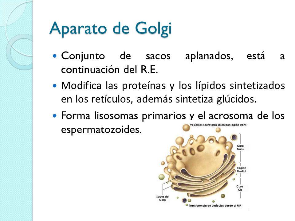 Aparato de Golgi Conjunto de sacos aplanados, está a continuación del R.E.