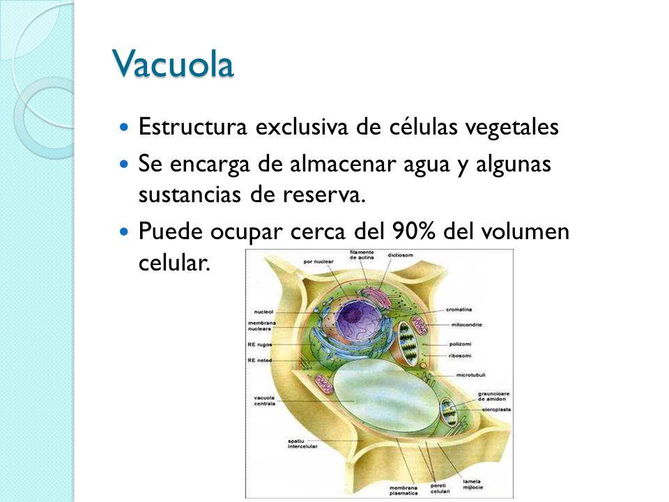 Vacuola Estructura exclusiva de células vegetales Se encarga de almacenar agua y algunas sustancias de reserva.