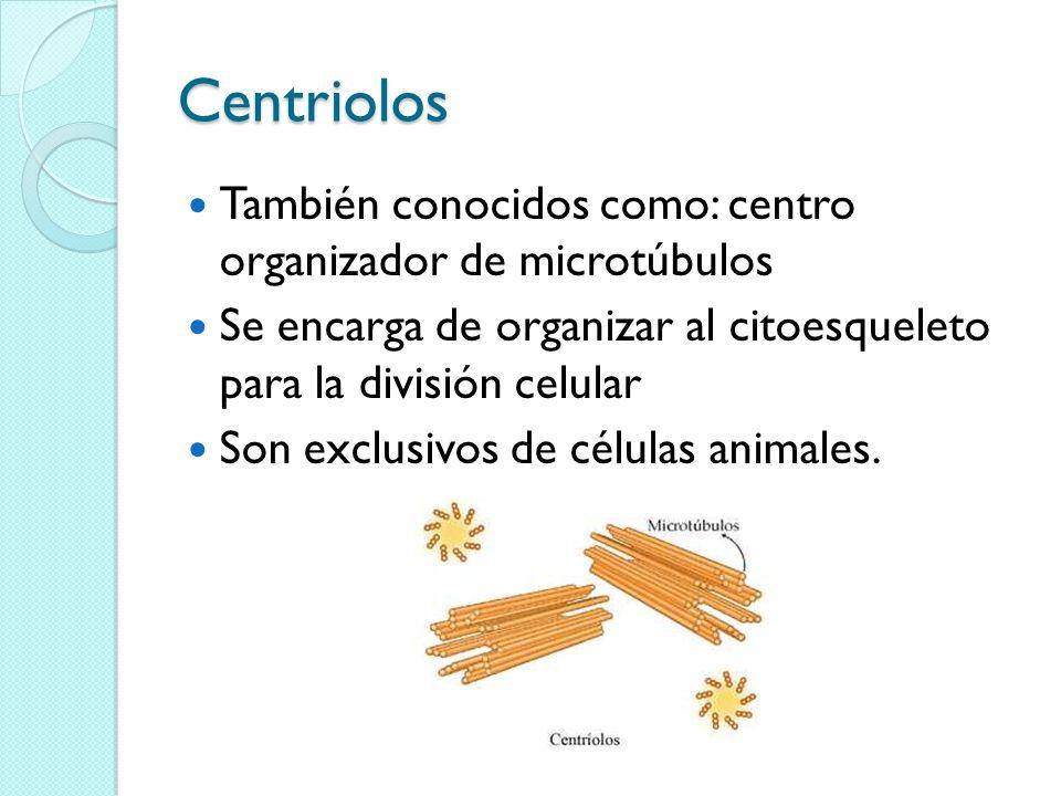 Centriolos También conocidos como: centro organizador de microtúbulos Se encarga de organizar al citoesqueleto para la división celular Son exclusivos de células animales.