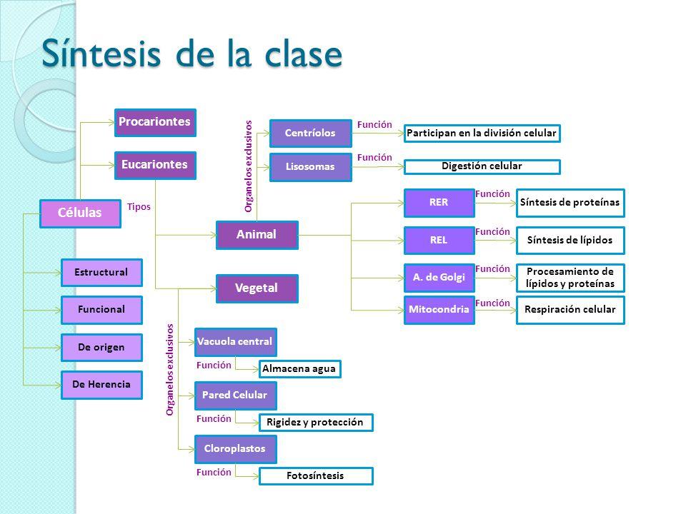 Síntesis de la clase Células De origen Funcional Estructural De Herencia Animal Vegetal Centríolos Lisosomas Vacuola central Pared Celular Cloroplastos RER REL A.