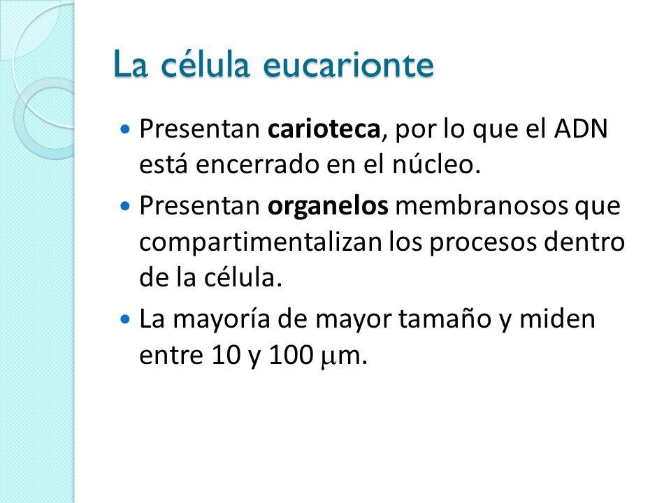 La célula eucarionte Presentan carioteca, por lo que el ADN está encerrado en el núcleo.