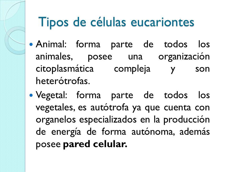 Tipos de células eucariontes Animal: forma parte de todos los animales, posee una organización citoplasmática compleja y son heterótrofas.