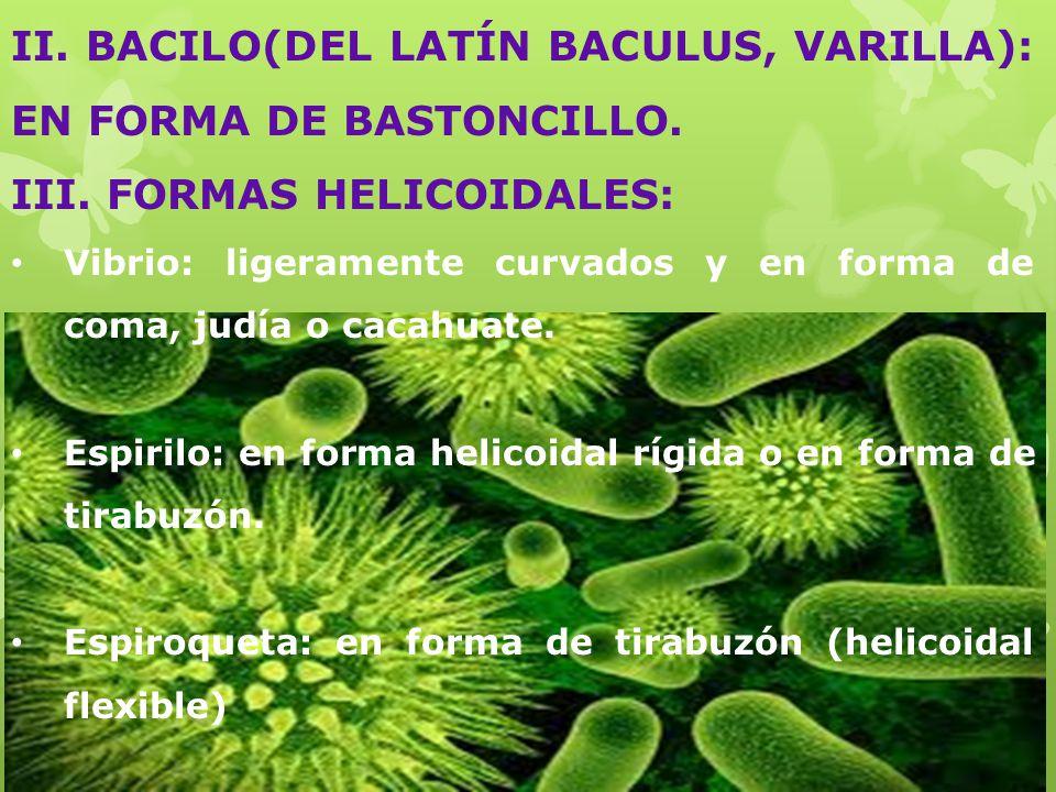 II.BACILO(DEL LATÍN BACULUS, VARILLA): EN FORMA DE BASTONCILLO.