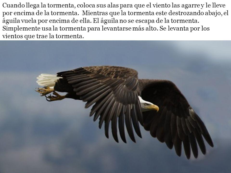 Cuando llega la tormenta, coloca sus alas para que el viento las agarre y le lleve por encima de la tormenta. Mientras que la tormenta este destrozand