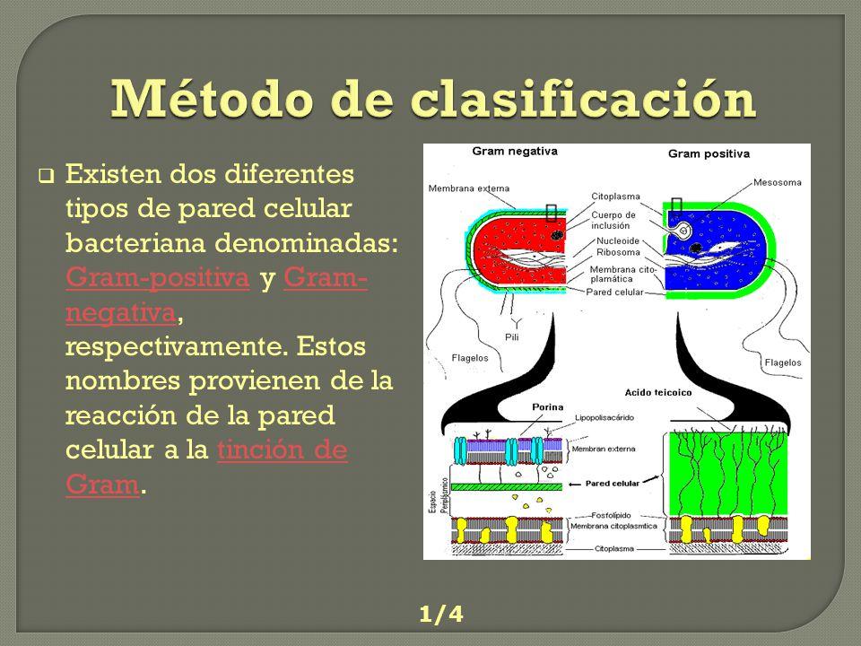 Aplicación del Crital Violeta Aplicación del Iodo Aplicación del decolorizador Aplicación de la safranina CRISTAL VIOLETA IODO DECOLORIZADOR SAFRANINA 2/4 Método Tinción Gram