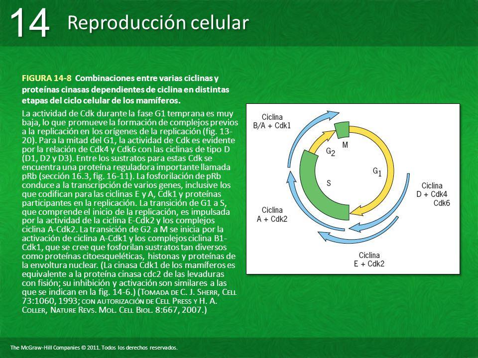 The McGraw-Hill Companies © 2011. Todos los derechos reservados. Reproducción celular 14 FIGURA 14-8 Combinaciones entre varias ciclinas y proteínas c