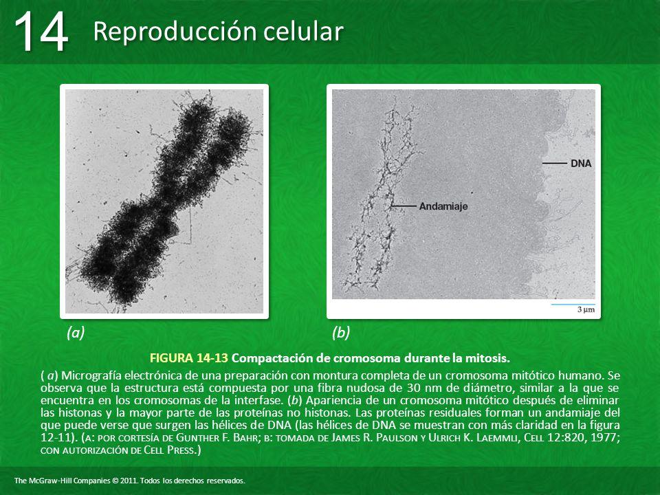 The McGraw-Hill Companies © 2011. Todos los derechos reservados. Reproducción celular 14 FIGURA 14-13 Compactación de cromosoma durante la mitosis. (