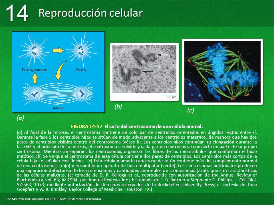 The McGraw-Hill Companies © 2011. Todos los derechos reservados. Reproducción celular 14 FIGURA 14-17 El ciclo del centrosoma de una célula animal. (a