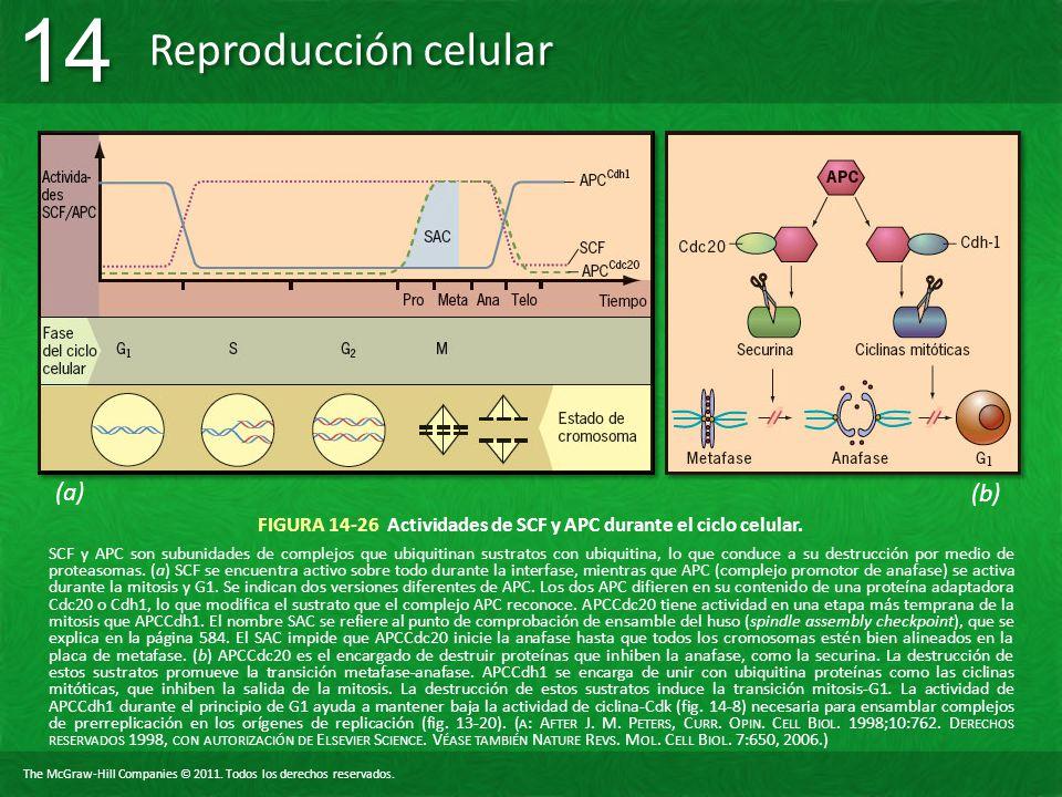 The McGraw-Hill Companies © 2011. Todos los derechos reservados. Reproducción celular 14 FIGURA 14-26 Actividades de SCF y APC durante el ciclo celula