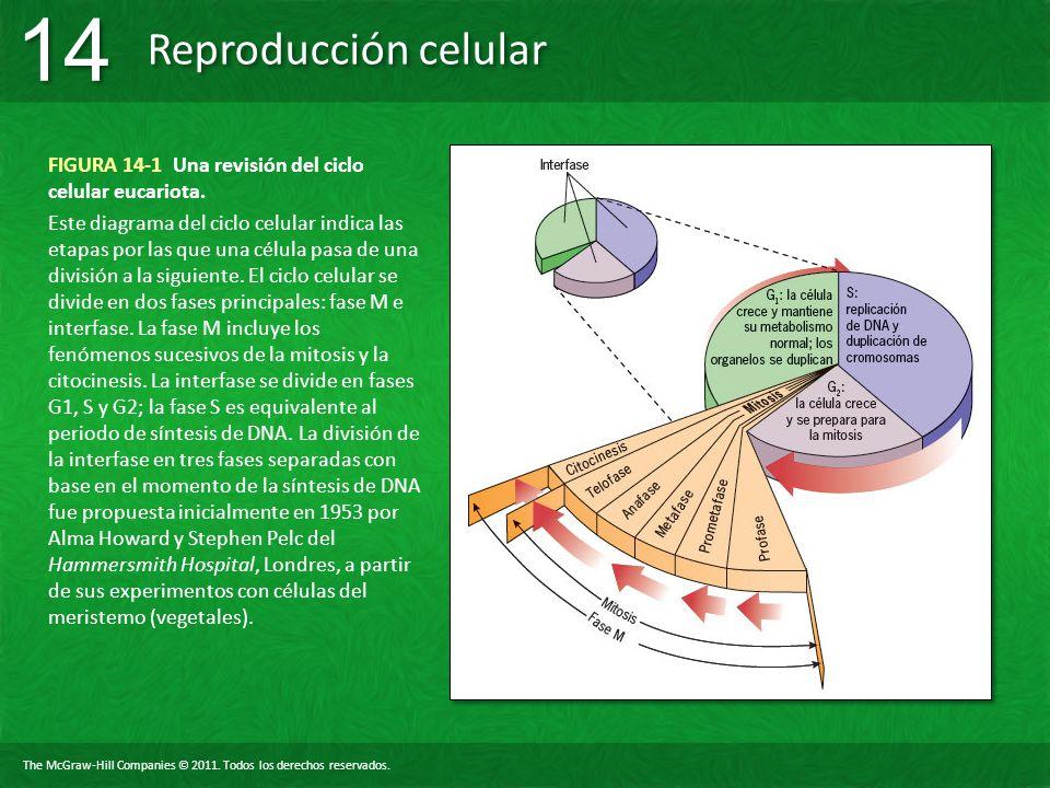 The McGraw-Hill Companies © 2011. Todos los derechos reservados. Reproducción celular 14 FIGURA 14-1 Una revisión del ciclo celular eucariota. Este di