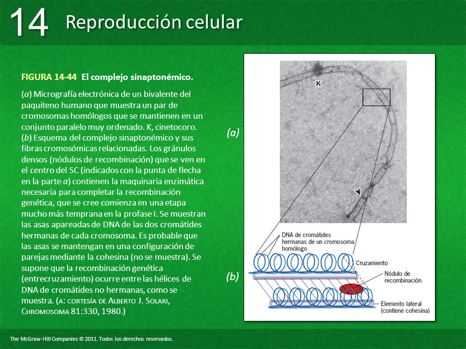 The McGraw-Hill Companies © 2011. Todos los derechos reservados. Reproducción celular 14 FIGURA 14-44 El complejo sinaptonémico. (a) Micrografía elect