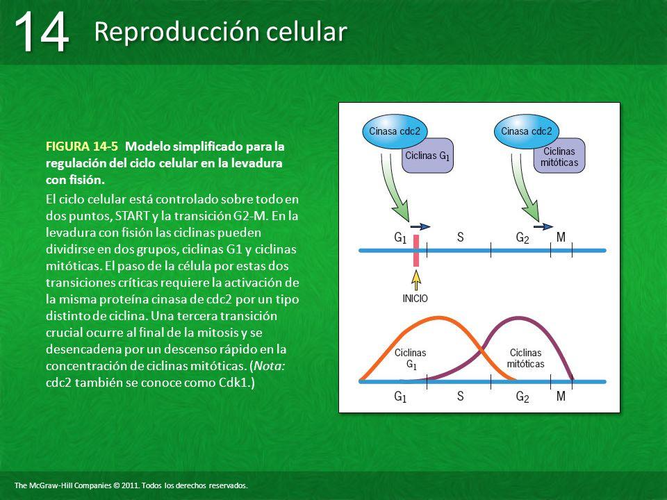 The McGraw-Hill Companies © 2011. Todos los derechos reservados. Reproducción celular 14 FIGURA 14-5 Modelo simplificado para la regulación del ciclo