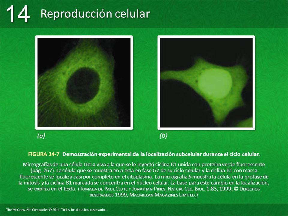 The McGraw-Hill Companies © 2011. Todos los derechos reservados. Reproducción celular 14 FIGURA 14-7 Demostración experimental de la localización subc