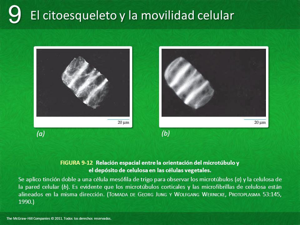 The McGraw-Hill Companies © 2011. Todos los derechos reservados. El citoesqueleto y la movilidad celular 9 9 FIGURA 9-12 Relación espacial entre la or