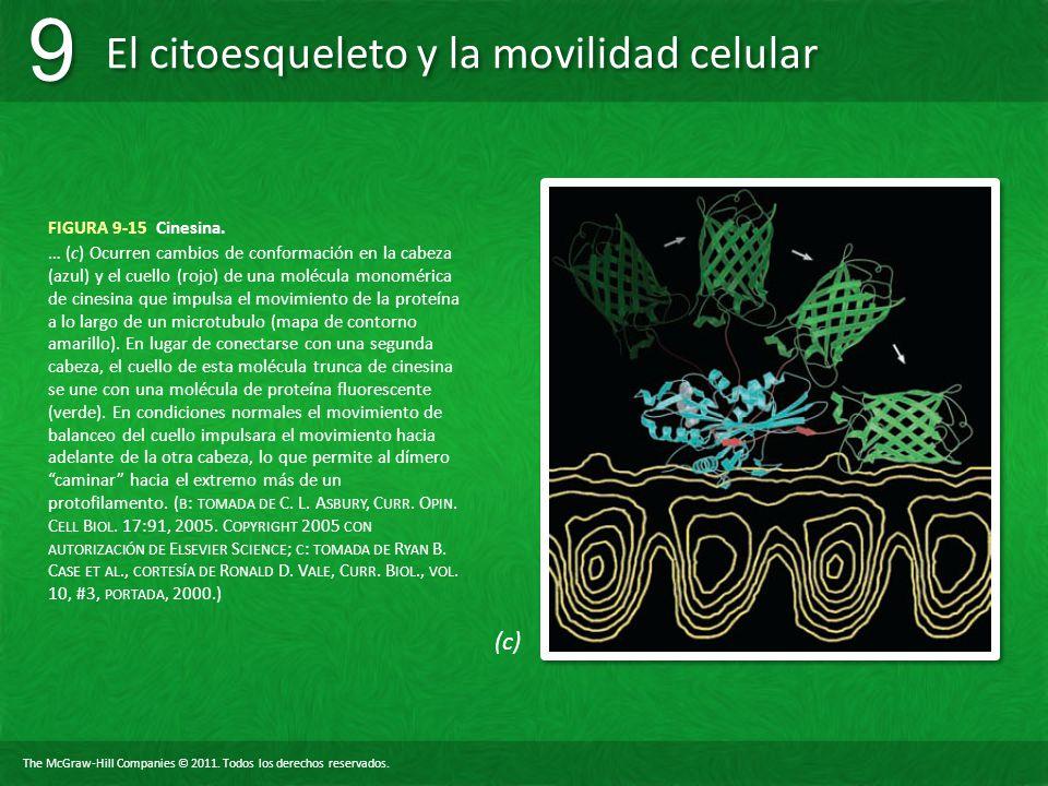 The McGraw-Hill Companies © 2011. Todos los derechos reservados. El citoesqueleto y la movilidad celular 9 9 FIGURA 9-15 Cinesina. … (c) Ocurren cambi