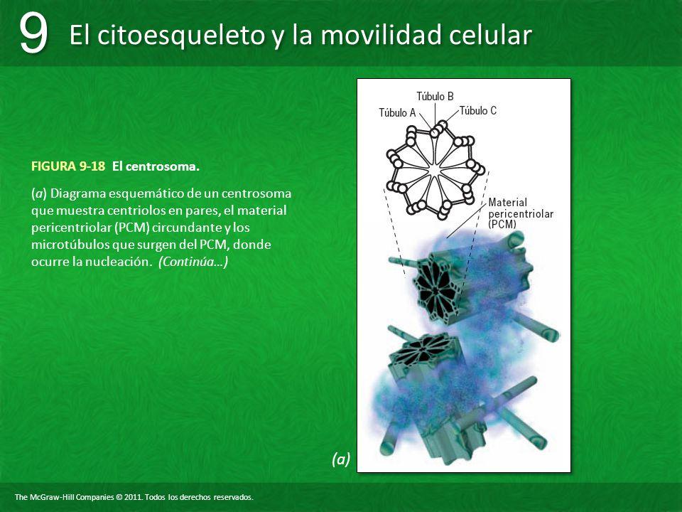 The McGraw-Hill Companies © 2011. Todos los derechos reservados. El citoesqueleto y la movilidad celular 9 9 FIGURA 9-18 El centrosoma. (a) Diagrama e
