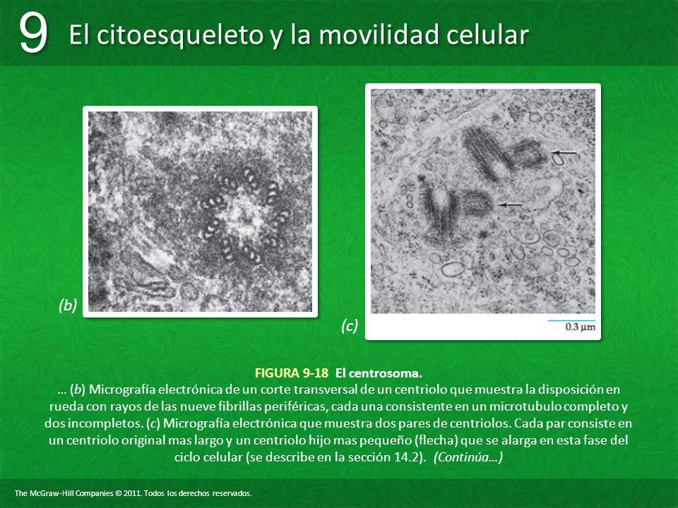 The McGraw-Hill Companies © 2011. Todos los derechos reservados. El citoesqueleto y la movilidad celular 9 9 FIGURA 9-18 El centrosoma. … (b) Microgra